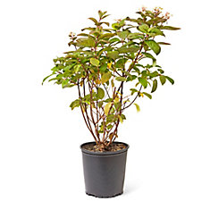 Hortensia Pee Gee, 2 gallons