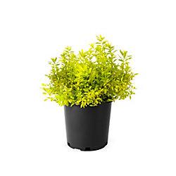 Landscape Basics 2 Gallon Spirea Goldmound
