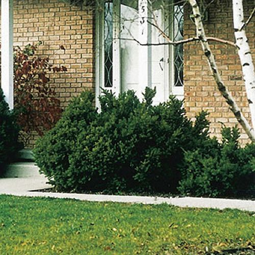 Landscape Basics 3 Gallon Dense Yew