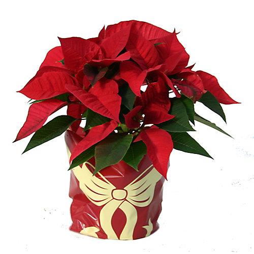 Poinsettia 4 fleurs et plus en pot, 6 po