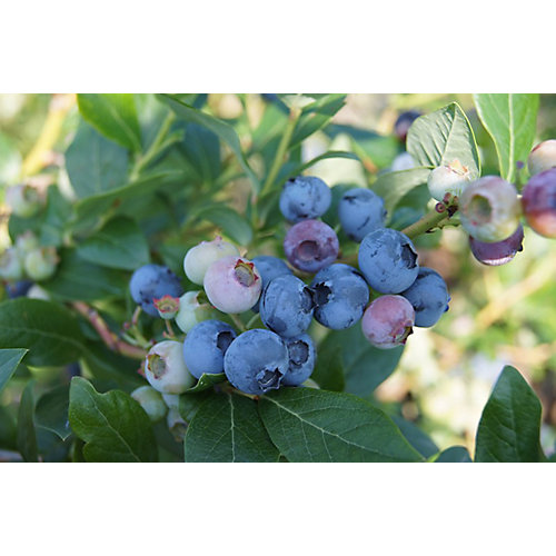 8-inch Blueberry Fruit Plant (Assorted)