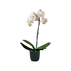 Orchid Phal 5-inch Upgrade