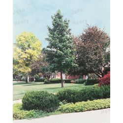 Landscape Basics Fruit Tree - Espalier 7g