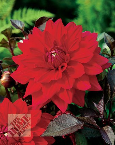 Martha Stewart Dahlia Suffolk Punch