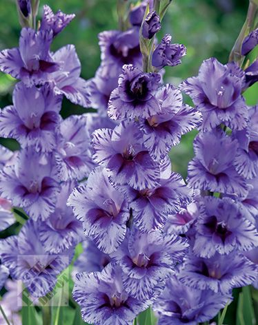 Martha Stewart Gladiolus Passos