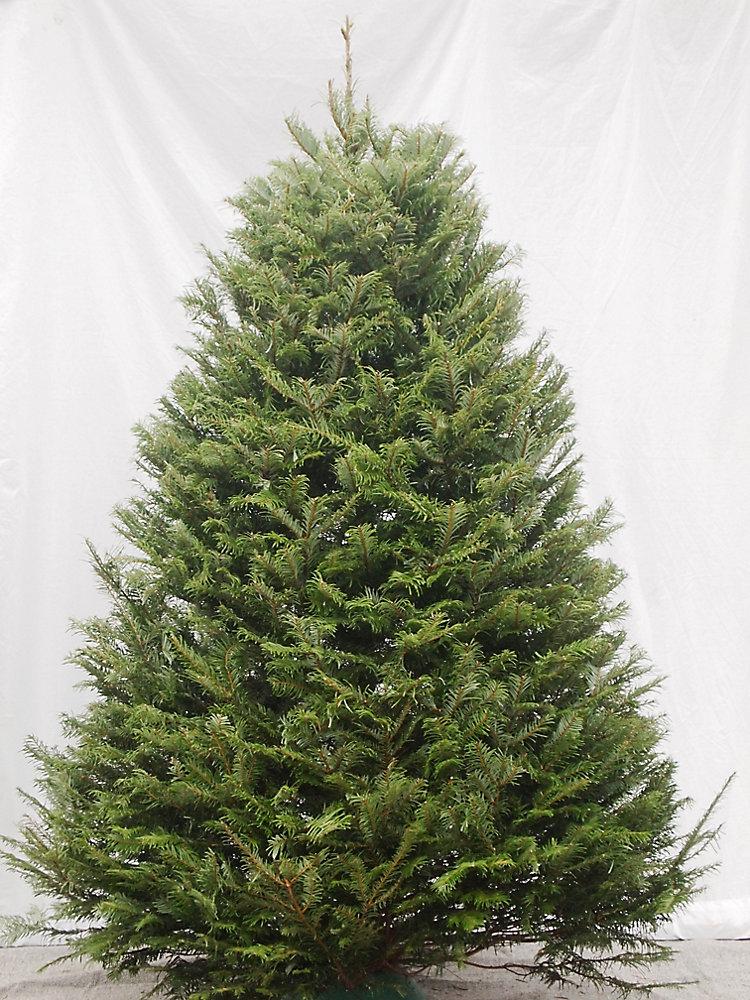 Sapin de Noël fraîchement coupé, de 5 à 6 pieds