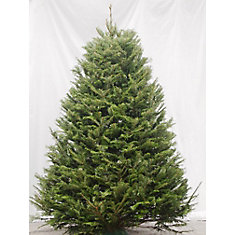 Fresh Cut Christmas Fir 5-6 ft.