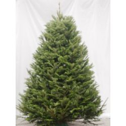Christmas Fir 5 ft. to 6 ft. Fresh Cut Christmas Tree