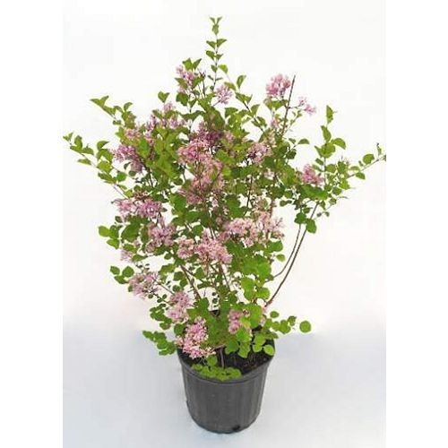 Landscape Basics 2 Gallon Dwarf Korean Lilac