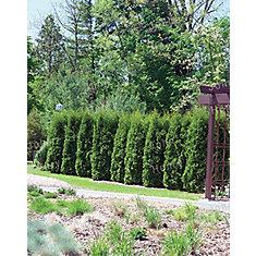 4-6 ft. Brandon Cedar Tree