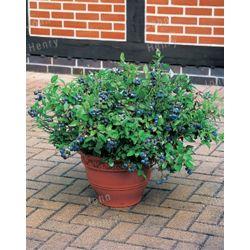 Landscape Basics Blueberry 3 Way Combo 5g