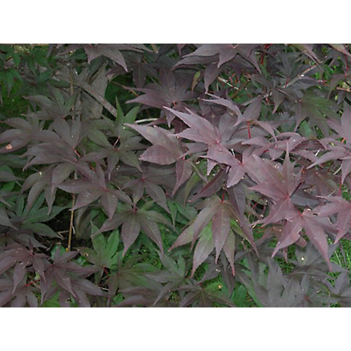 8-inch Japanese Maple Tree