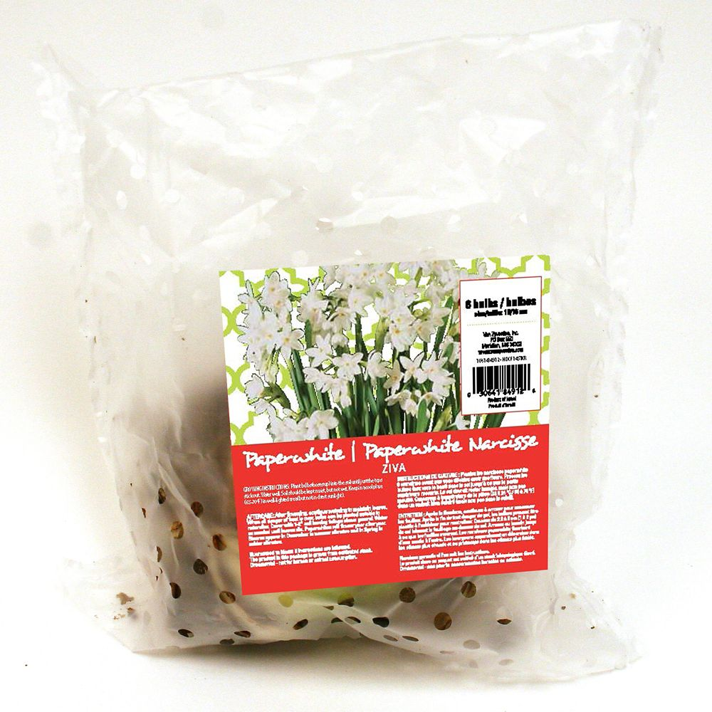 Narcisse Paperwhite Ziva