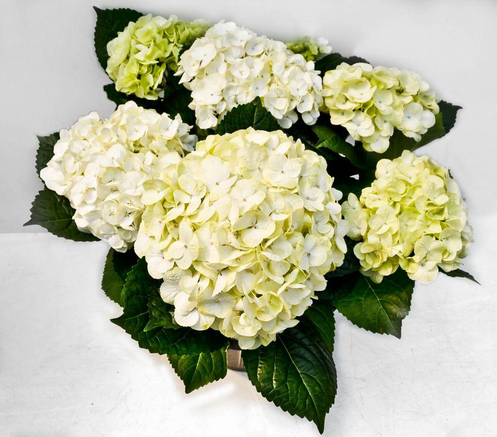 White Hydrangea - 9 Inch