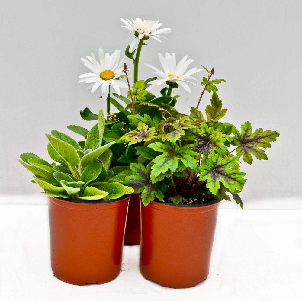 Perennial - 1 Gallon
