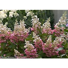 5 Gallon PW Pinky Winky Hydrangea Tree