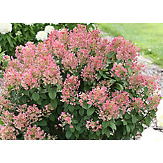 5 Gallon PW Quickfire Hydrangea Tree