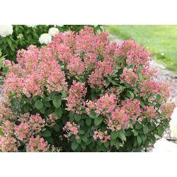 Proven Winners 5 Gallon PW Quickfire Hydrangea Tree