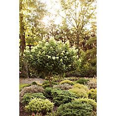 5 Gallon PW Limelight Hydrangea Tree