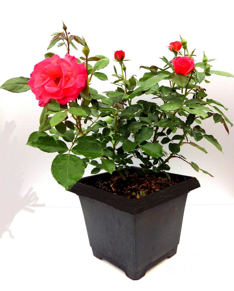 Canada Day Rose Planter
