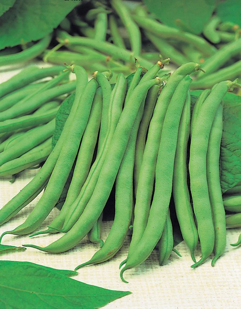 Bean Bush Tendergreen