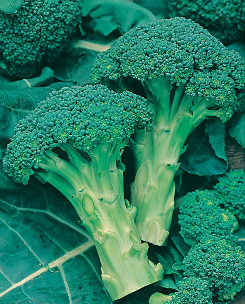 Broccoli Green Sprouting