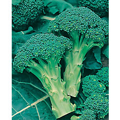 Broccoli Green Sprouting Seeds