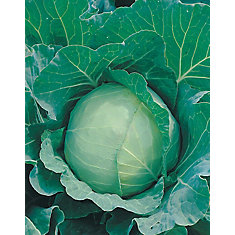 Cabbage Charmant Seeds