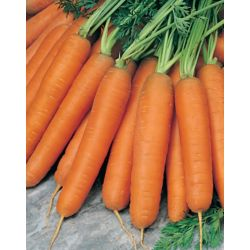 Mr. Fothergill's Seeds Carrot Early Nantes 2 Vegetable Seed Tape