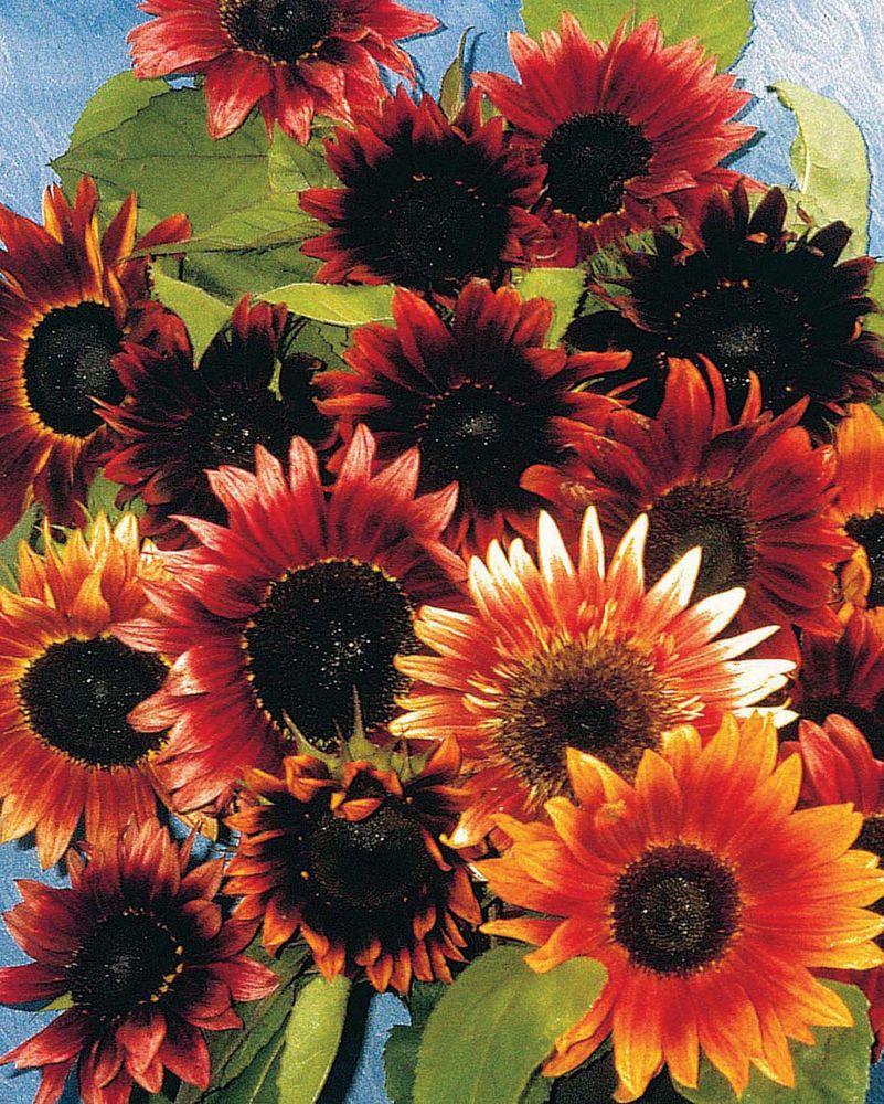 Sunflower Infrared F1