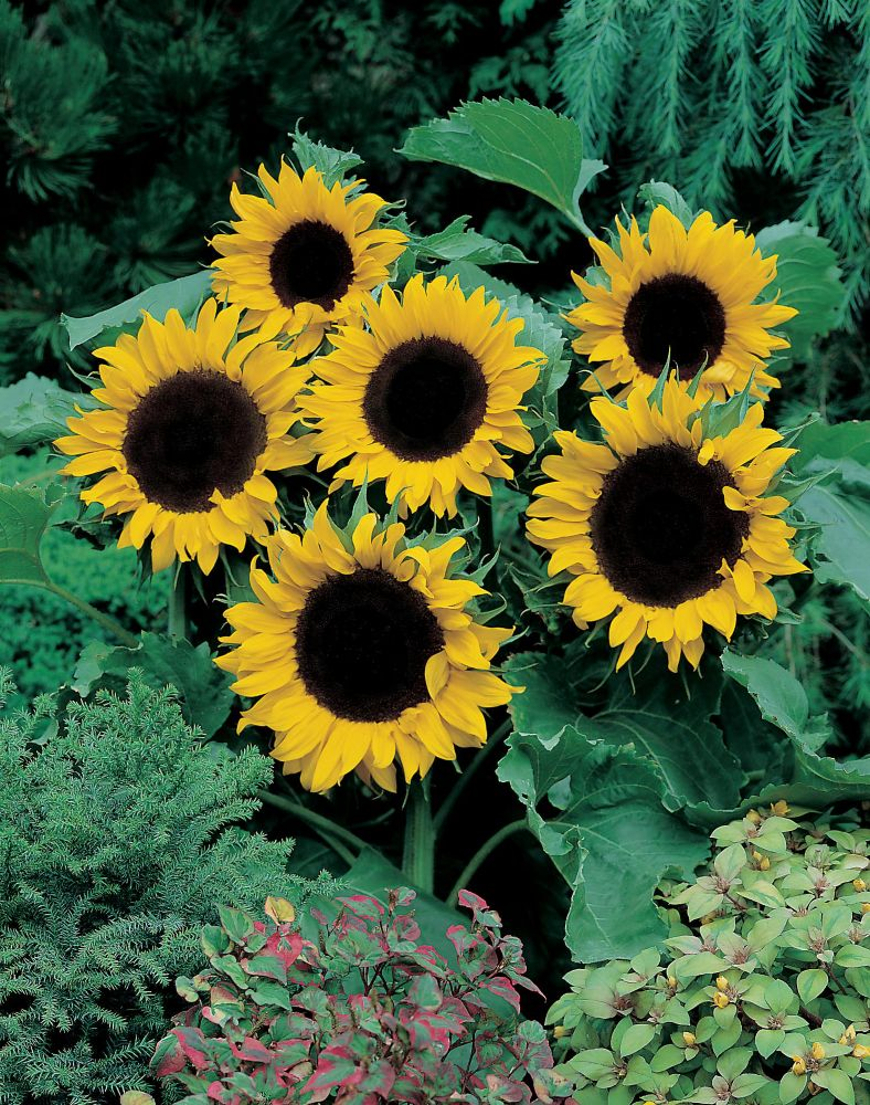Sunflower Mezzulah F1 J272 in Canada