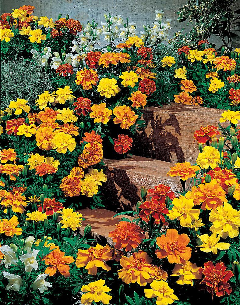 Marigold Safari Mixed Seeds