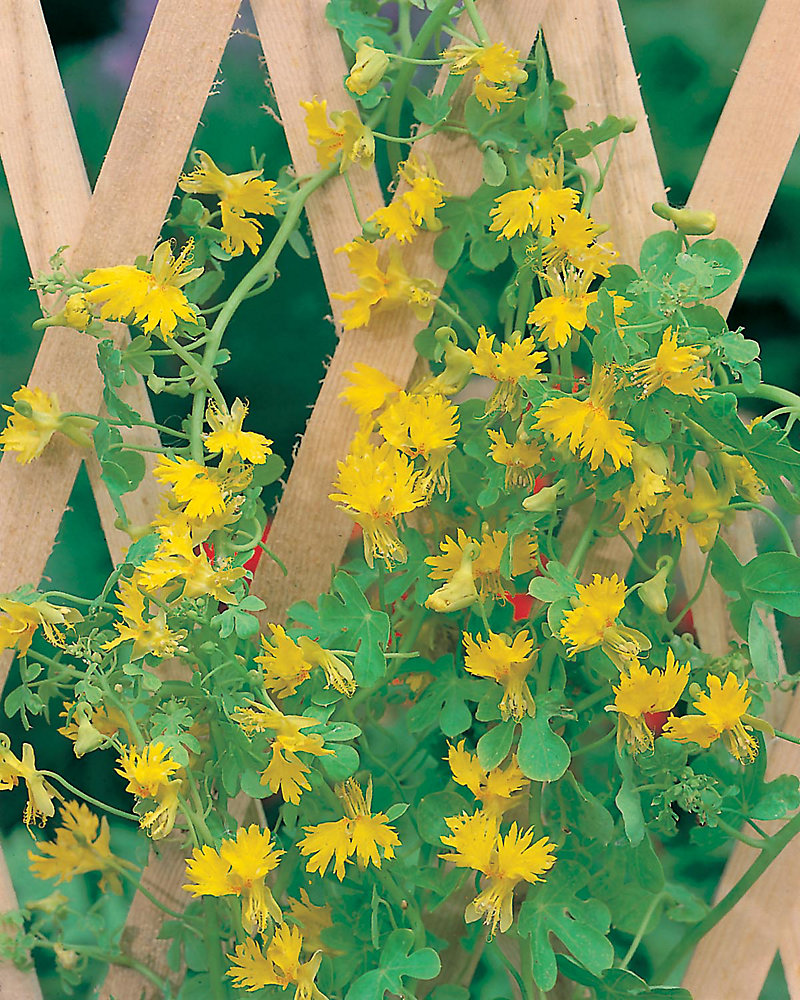 Fun Seeds Climbing Canaries                        (Canary Creeper)