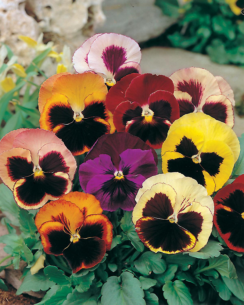 Fun Seeds Funny Faces                         (Pansy Swiss Giants)
