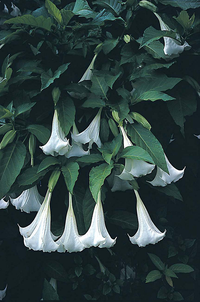 Datura Angels Trumpet Seeds