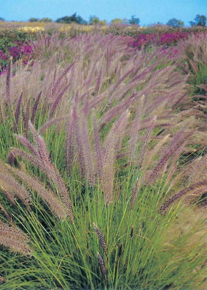 Fountain Grass Pennisetum Setaceum 19953 Canada Discount