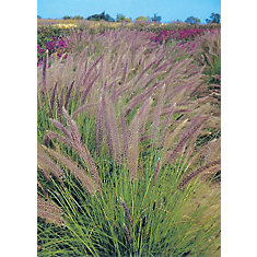 Fountain Grass Pennisetum Setaceum Seeds