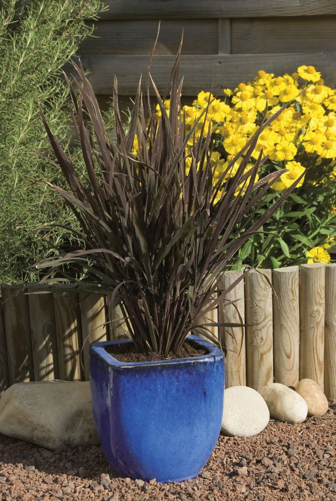 Ornamental Grass Black Madras 18470 Canada Discount