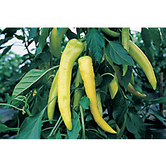 Pepper Sweet Banana Seeds