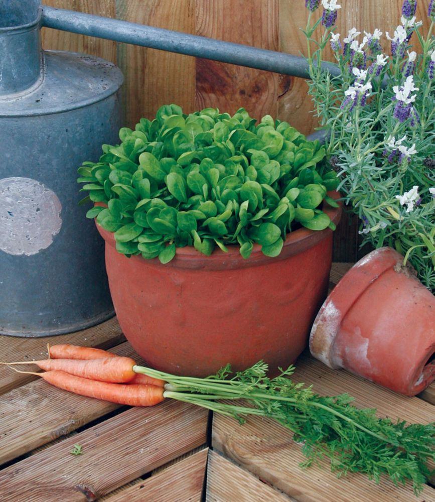 Spinach Lazio 390 Canada Discount