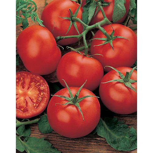 Tomate moneymaker