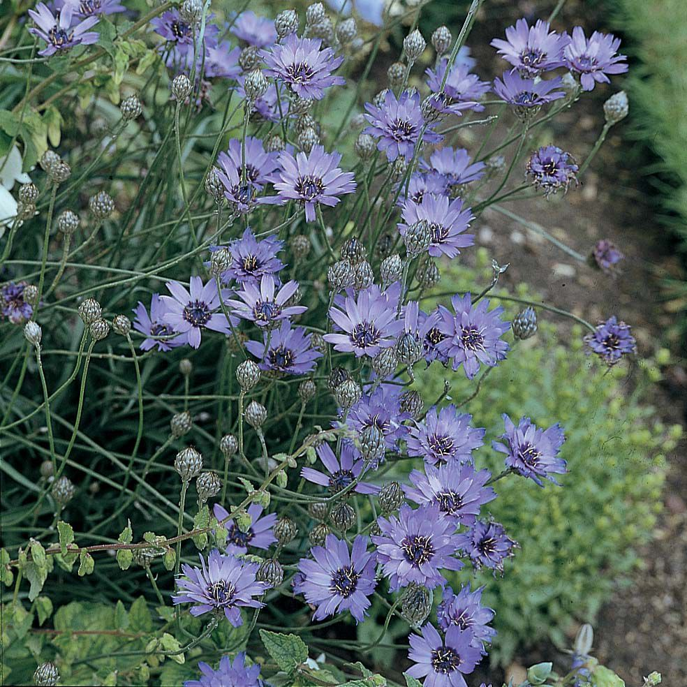 Catananche Coerulea 810 Canada Discount