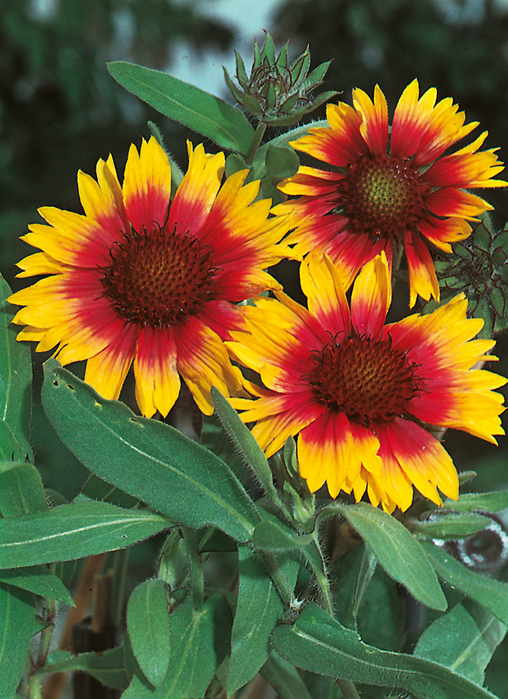 Gaillardia Torchlight Seeds