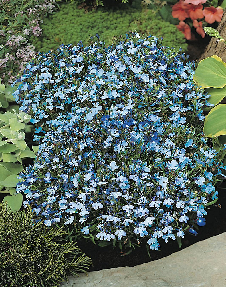 Lobelia Riviera Blue Splash Seeds