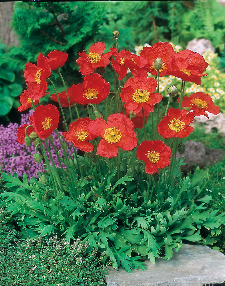 Poppy Solar Fire Seeds