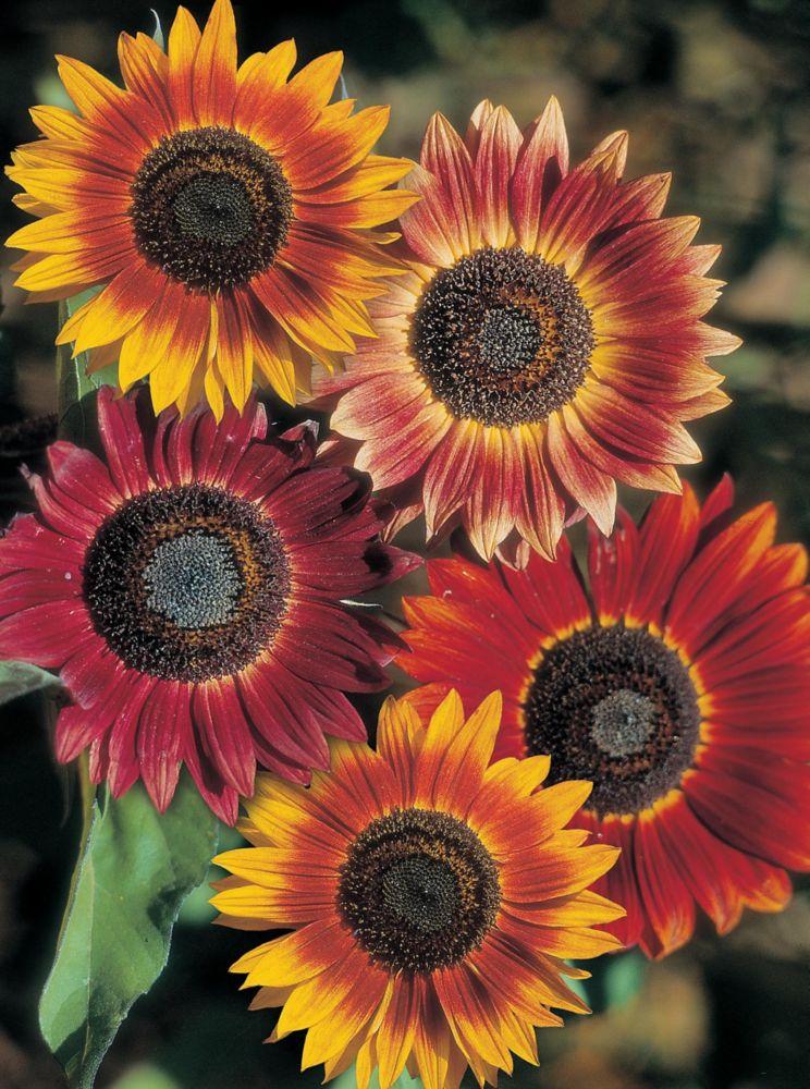 Sunflower Evening Sun