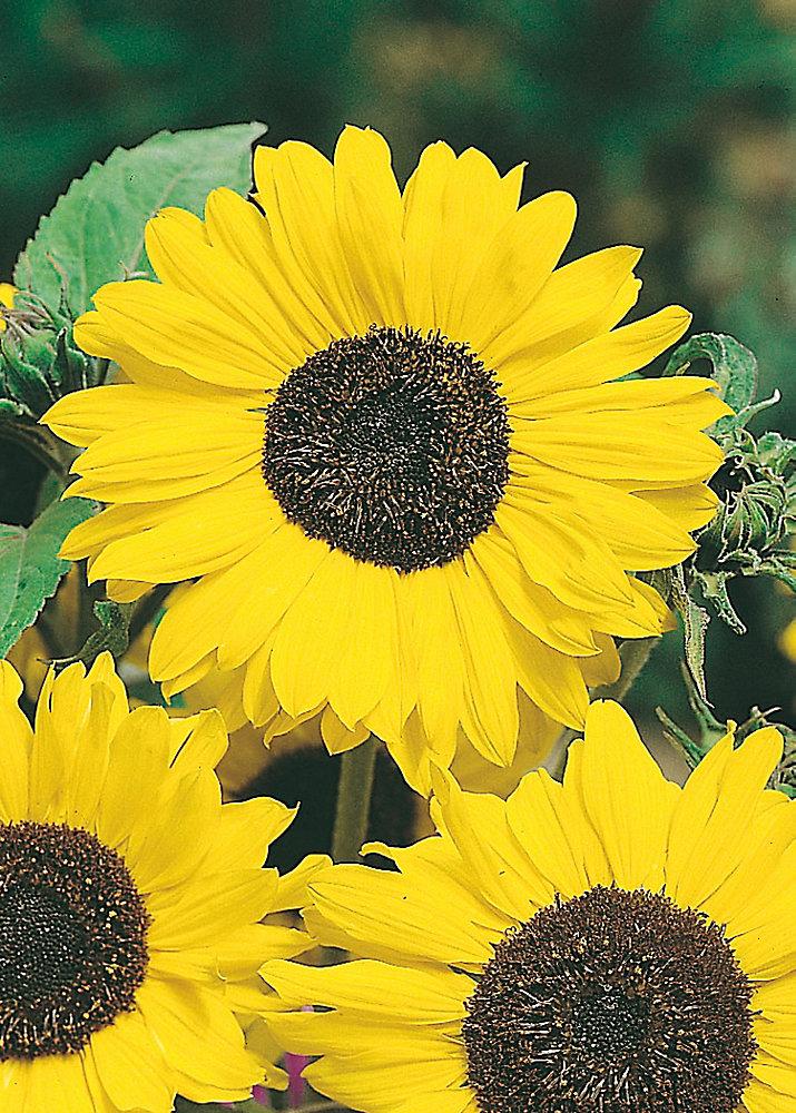 Sunflower Lemon Queen Seeds