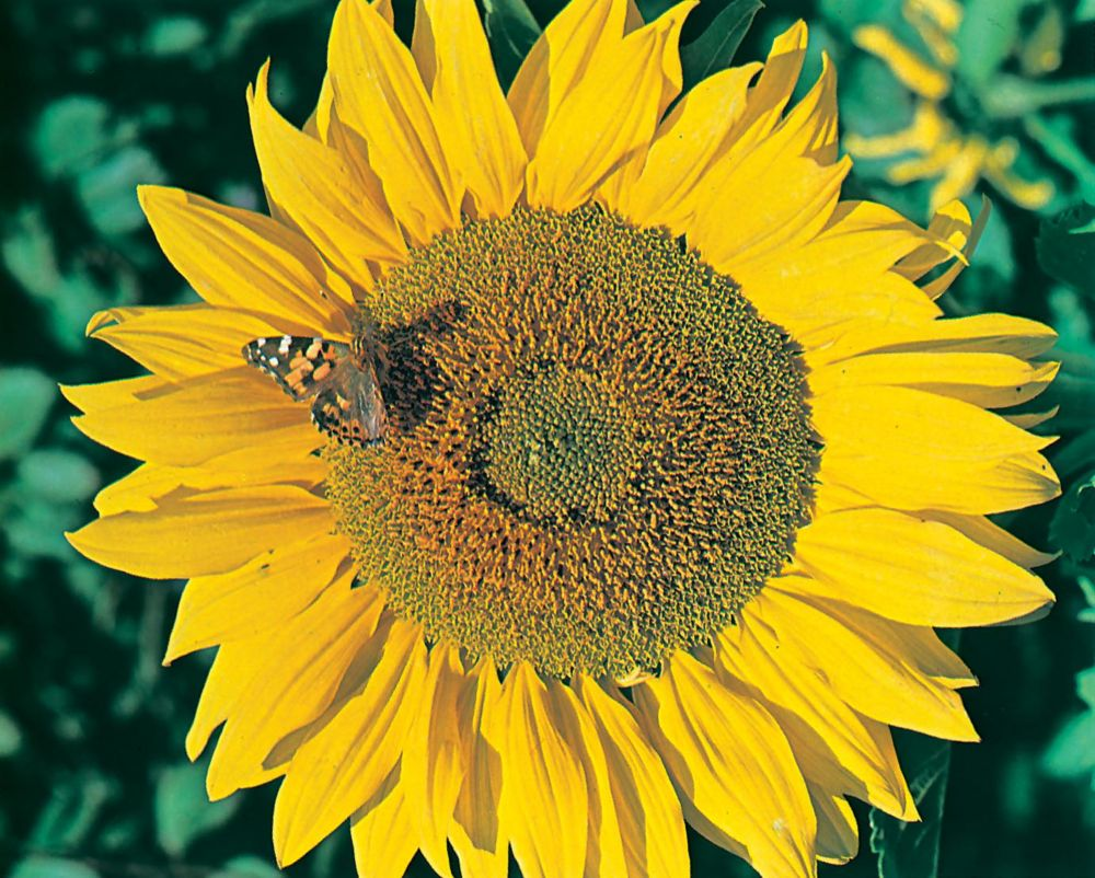 Sunflower Titan 20807 in Canada