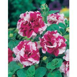 Johnsons Seeds Petunia Cherry Tart F1 Seeds