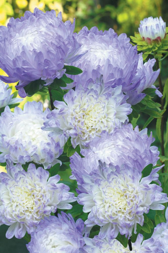 Reine marguerite duchess blue ice
